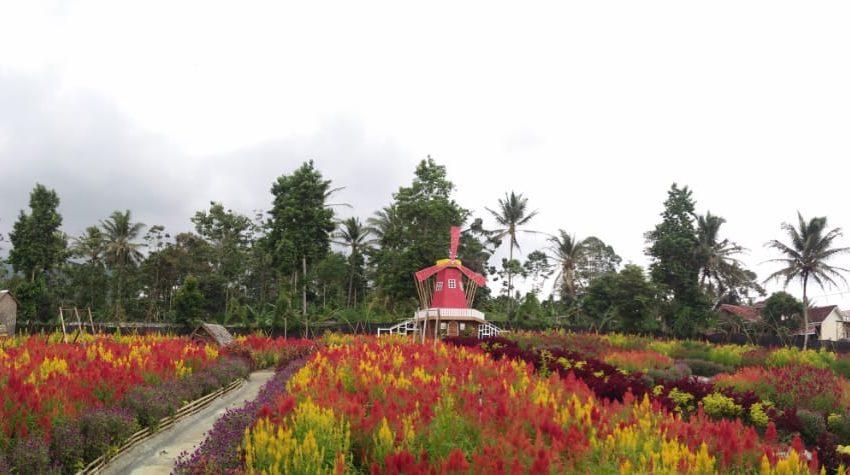 Taman Wisata Umbul Helau: Liburan Bareng Keluarga Ditemani Warna-warni Bunga Celosia